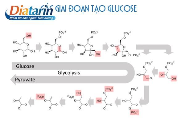 Các giai đoạn tạo glucose