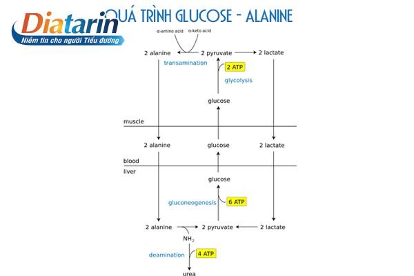 Chu trình glucose - alanine