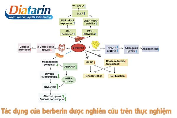 Tác dụng của berberin được nghiên cứu trên thực nghiệm